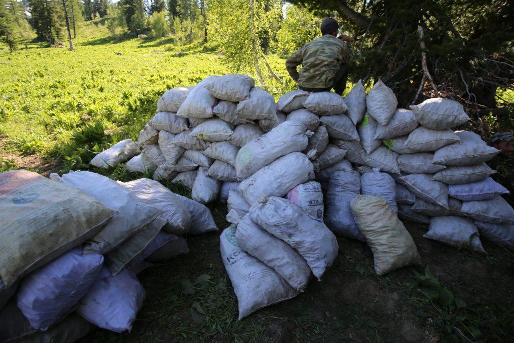 Представители Российского экологического общества выявили незаконный сбор краснокнижных растений в Республике Алтай